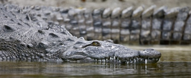 Studying alligator teeth may change the future of dentistry